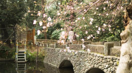 井の頭公園の桜開花予想2018!見頃・ライトアップ・混雑状況について