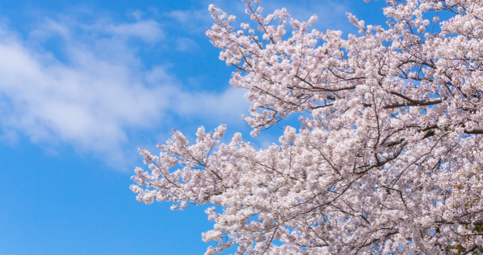 三ッ池公園の桜開花予想2018!見頃・ライトアップ・屋台について