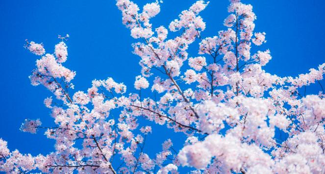 鶴舞公園の桜開花情報2018!桜まつり・屋台・ライトアップについて
