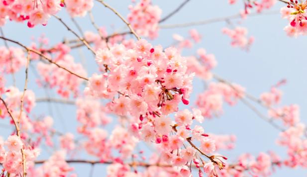 木曽川堤の桜開花状況2018!見頃・駐車場・屋台情報について
