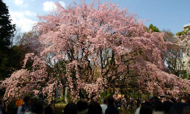 六義園の桜開花状況2018!しだれ桜の見頃・ライトアップ・混雑回避のコツについて