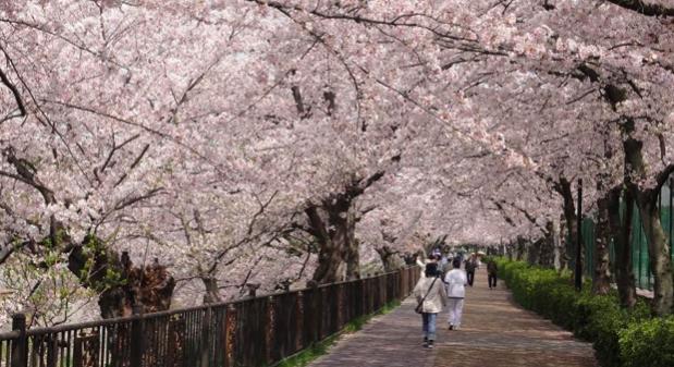 山崎川の桜開花情報2018!ライトアップ・駐車場・屋台について
