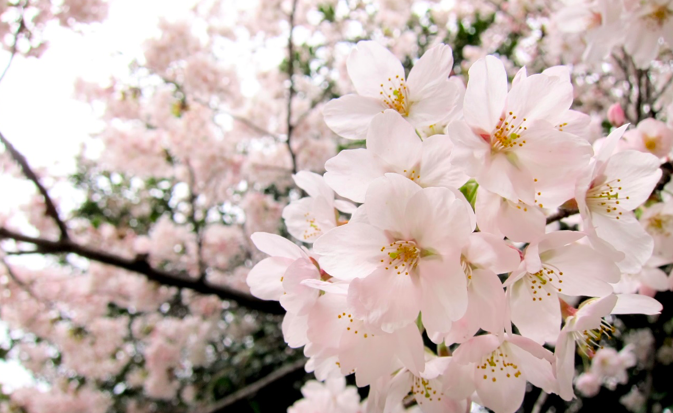 北上展勝地の桜開花予想2018!桜まつり期間・見頃・ライトアップについて
