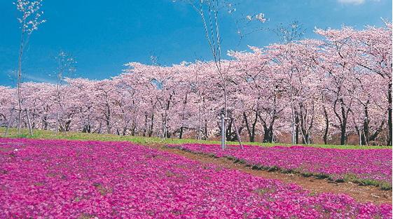 赤城の桜開花情報2018!見頃・ライトアップ・桜まつり・名所について