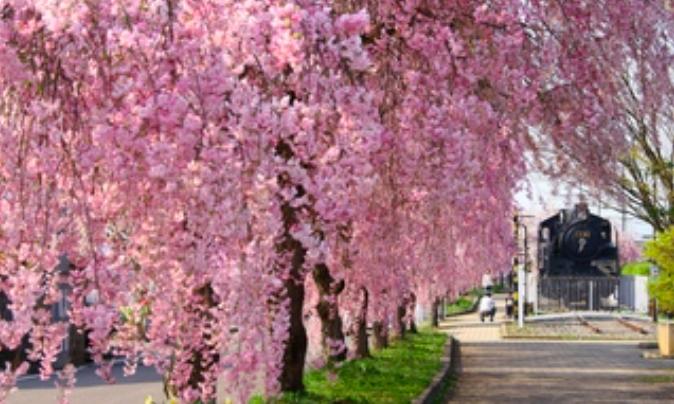 日中線のしだれ桜の開花状況2018!駐車場や周辺のおすすめスポット紹介