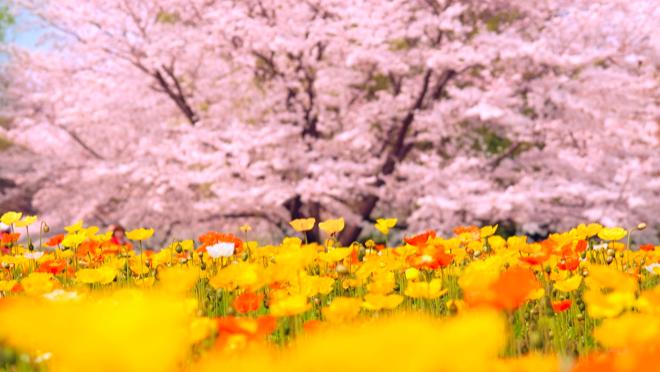 昭和記念公園の桜開花情報2018!見頃・ライトアップ・桜まつりについて