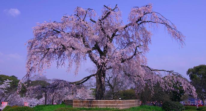 円山公園(京都)桜開花情報2018!ライトアップ・見頃・屋台について