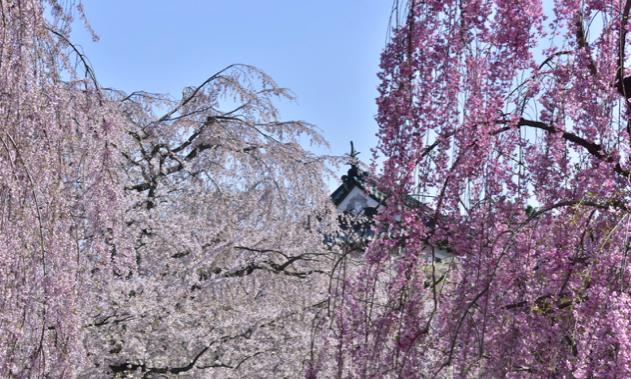 弘前公園の桜開花予想2018!桜まつりの期間・見頃・ライトアップについて