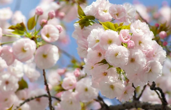 武蔵野公園の桜開花状況2018!見頃・ライトアップ・屋台情報も!