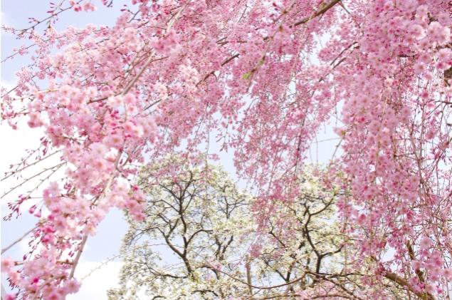 遅咲きの桜の名所4選!東京でまだまだ間に合う絶景の花見スポット