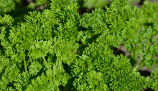電子レンジを使った乾燥パセリの作り方!生パセリより栄養価は下がる?